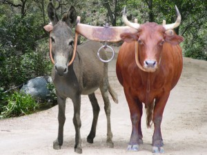 oxen and donkey yoked together